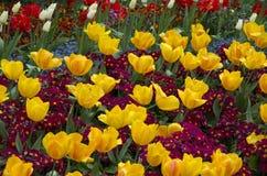 Gula tulpan- och lilablommor Royaltyfria Bilder