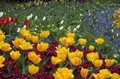 Gula tulpan- och lilablommor Arkivbilder