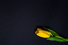 Gula tulpan på svart bakgrund Royaltyfria Foton