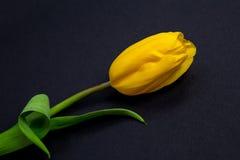 Gula tulpan på svart bakgrund Arkivfoto
