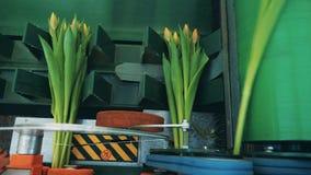 Gula tulpan som samlar in i buketter på en rörande transportör stock video
