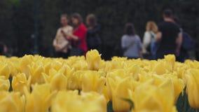 Gula tulpanblommor för härlig vår på grön blomsterrabatt i stad arkivfilmer