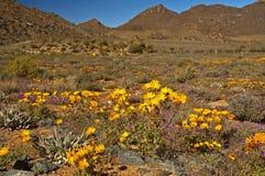 Gula tusenskönor i Namaqualand Arkivfoto