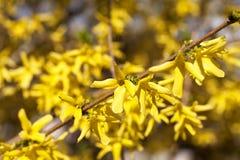 Gula vårblommor av forsythia i trädgården Arkivbilder