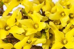Gula vårblommor av forsythia på vit bakgrund Fotografering för Bildbyråer