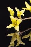 Gula vårblommor av forsythia som isoleras på svart bakgrund Royaltyfria Foton