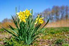 Gula vårblommor av pingstliljapåskliljor på solskenäng royaltyfria foton