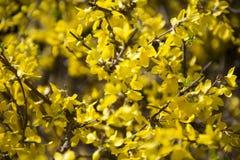Gula vårblomningar Arkivbilder