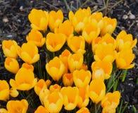 Gula vårkrokusar som blommar, små blommor Arkivfoton