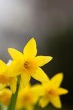 Gula vårpåskliljor. royaltyfria bilder