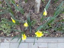Gula vårpåskliljor som blommar i staden av jordinvånareblomsterrabatten Royaltyfri Foto