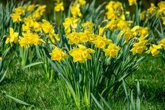 Gula vibrerande lösa blommor för vårpåsklilja royaltyfria foton