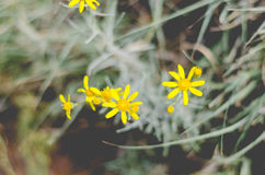 Gula vildblommor Fotografering för Bildbyråer
