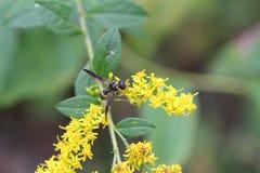 Gula Wasp lilavingar Arkivfoto