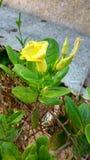 Gulaktig blomma Royaltyfri Foto