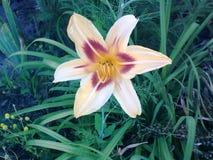 Gulaktig lilja Royaltyfria Bilder