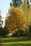 Gulaktiga träd i en höstsolnedgång Royaltyfria Bilder