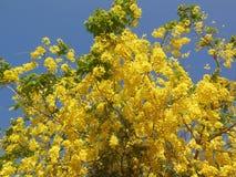 Gulaktigt blommaträd arkivfoton