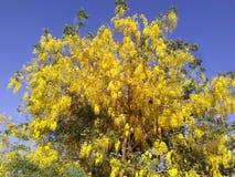 Gulaktigt blommaträd royaltyfri foto