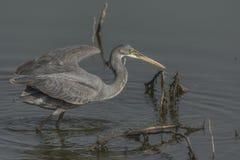 Gularis ocidentais do Egretta da garça-real do recife ou caça ocidental do Egret do recife fotos de stock