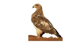 Gulbrun örn, Aquila rapax Fotografering för Bildbyråer