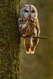 Gulbrun uggla i skogen med musen i klon Brunt ugglasammanträde på trädstubbe i den mörka skoglivsmiljön med låset härligt Fotografering för Bildbyråer