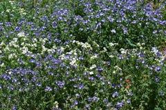 Gulch Cunningham λουλούδια στοκ εικόνα με δικαίωμα ελεύθερης χρήσης