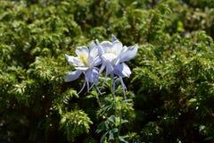 Gulch Cunningham λουλούδια Columbine στοκ εικόνες