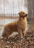 guld- älsklings- retriever för hund arkivfoton