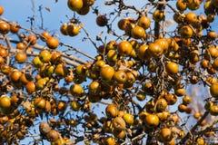 guld- äpplen Royaltyfria Bilder