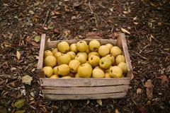 Guld- äpplen i tappningträask på jordningen mycket av höstlövverk Mogen gulingfruktskörd i en spjällåda Hösten och bantar c royaltyfri bild