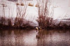 Guld--öga Duck Flies Over Pond arkivbild