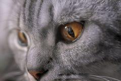 Guld- öga för katter Arkivfoton
