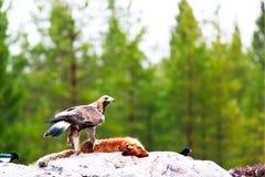 guld- örn Arkivfoton