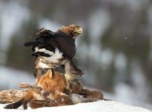 Guld- örn (Aquila chrysaetos) Royaltyfri Foto