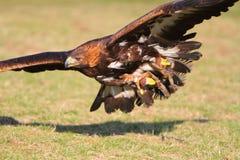 Guld- örn i flyg Royaltyfria Foton