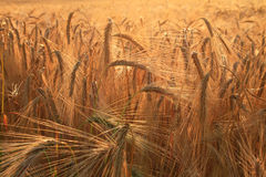Guld- öron av vete i fält Arkivbild