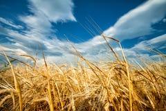 Guld- öron av vete mot blå himmel Royaltyfri Foto