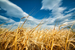 Guld- öron av vete mot den blåa himlen Royaltyfria Foton