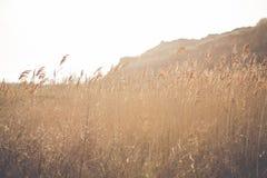 Guld- öron av vete på fältsolnedgången tänder Arkivfoton