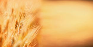 Guld- öron av vete, utomhus- natur, sädes- fält, ställe för text Åkerbruk lantgård Arkivbild