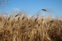 Guld- öron av vete växer under vikten av mogna korn arkivbild