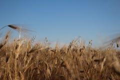 Guld- öron av vete växer under vikten av mogna korn royaltyfri foto