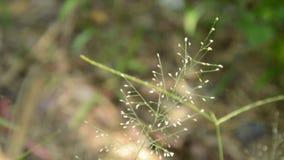 Guld- anpassningar för skägggräsmiljö vid gunga följer regn som faller i trädgård arkivfilmer