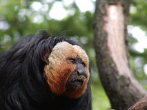 guld- apa för skägg Royaltyfri Foto