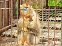 Guld- apa i bur Fotografering för Bildbyråer
