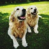 Guld- apportörhundkapplöpning Arkivbilder