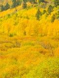 Guld- asp- Treeskog Arkivbilder