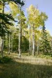 guld- aspar Fotografering för Bildbyråer