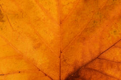 Guld- Autumn Leaf Background Arkivbilder
